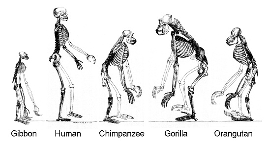 Ape_skeletons.jpg