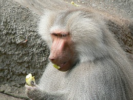 Papio_hamadryas_eating_an_apple.jpg