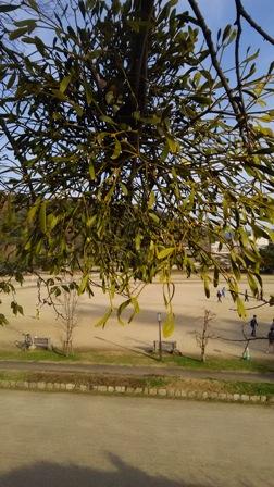 mistletoe matsuyama2.jpg