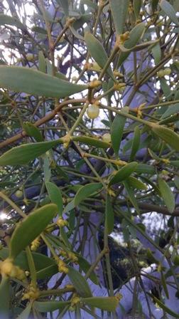 mistletoe matsuyama4.jpg